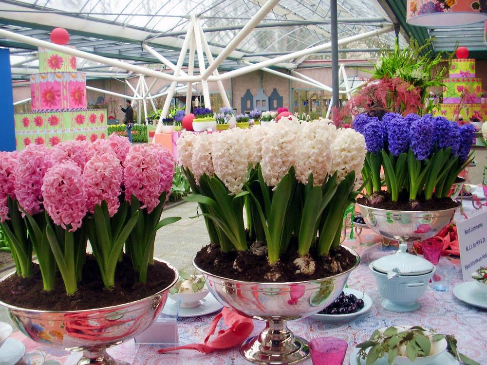 Цветы гиацинты картинки 4