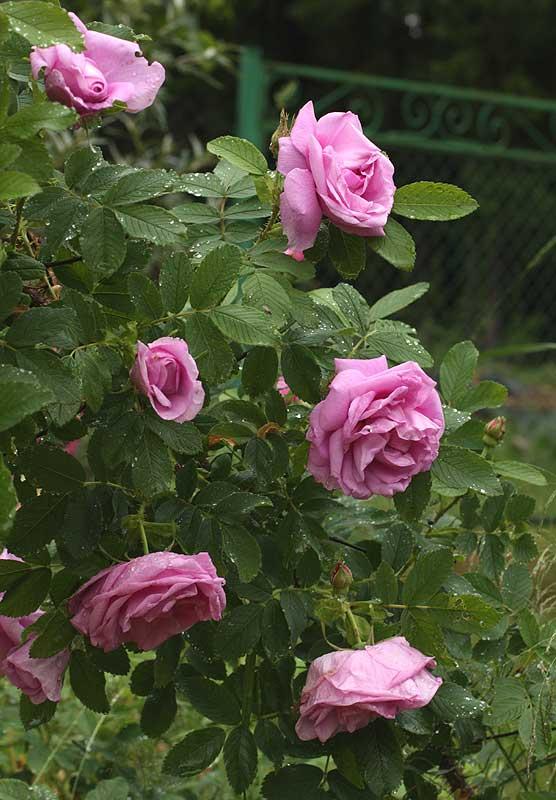 том, роза аленушка фото и описание это